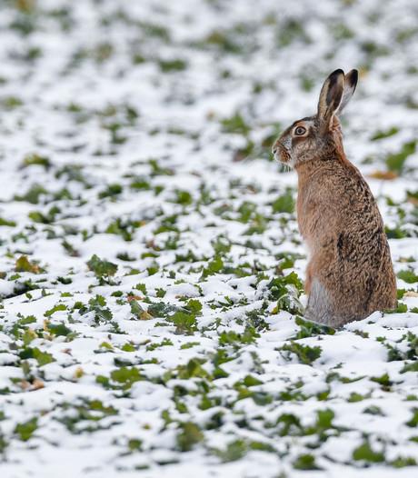 Aaltense primeur: eerste haas dood door konijnen-virus