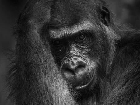 'Alsof-ie dwars door me heen keek!'Rosmalenaar wint wedstrijd met indringende foto gorilla