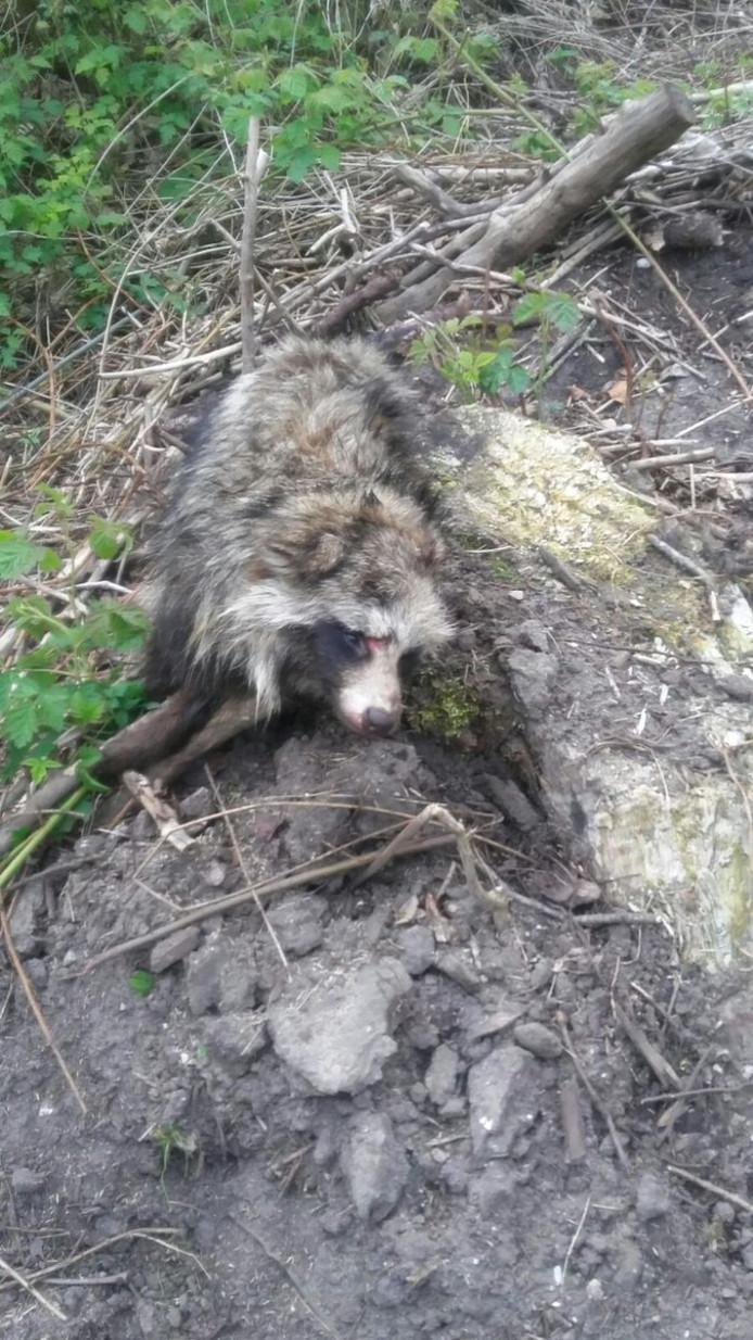 Bij de Vossemeerdijk in Dronten is eind vorige week een dode wasbeerhond gevonden.