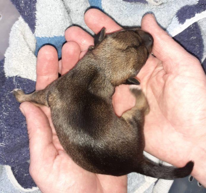 Eén van de drie aangetroffen puppy's in Deventer. Dit pasgeboren mannetje van net 300 gram werd samen met twee andere puppy's aangetroffen in een kinderrugzak achter het station.