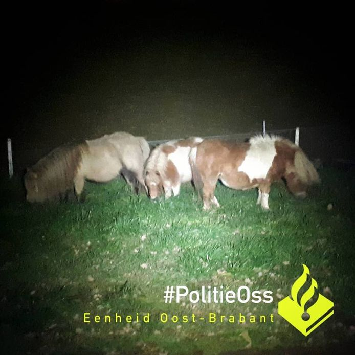 Ontsnapte Pony S Zorgen Voor Opschudding In Berghem Oss E O Bd Nl