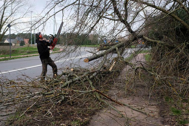 Een boomchirurg ruimt met een kettingzaag een omgewaaide boom op aan de rotonde op de Putsesteenweg in Bonheiden.