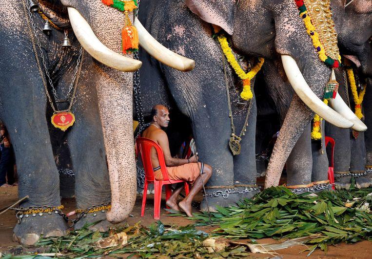 Een mahout, een olifantentrainer, zit tussen de olifanten die meedoen aan het Onam-festival, een oogstfeest in de Indiase deelstaat Kerala. Beeld Reuters