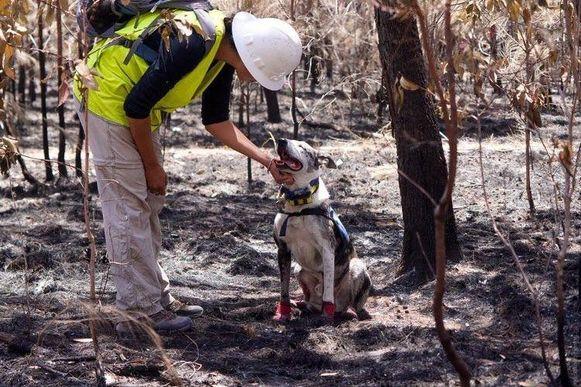 Speurhond Bear helpt mee in de zoektocht naar gewonde koala's.