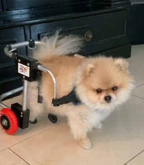 Schoothondje van Frans Bauer in rolstoel na verlammend ruggenmerginfarct
