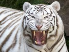 Japanse dierenverzorger doodgebeten door witte tijger