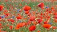 Braakliggend terrein wordt bloemenweide