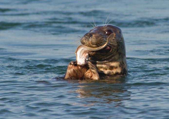 Zeehond met een maaltje vis.