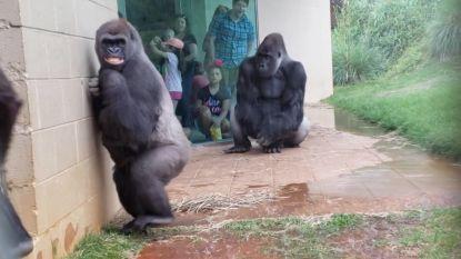 Deze gorilla's hebben écht geen zin in de regen