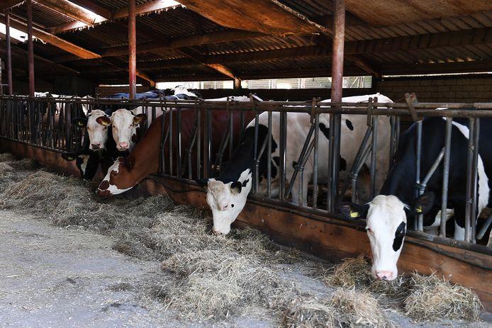 Koeien in Sint Anthonis.