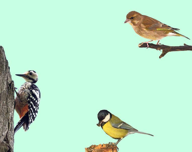 Van links naar rechts: De bonte specht, mees, groenling.  Beeld colourbox