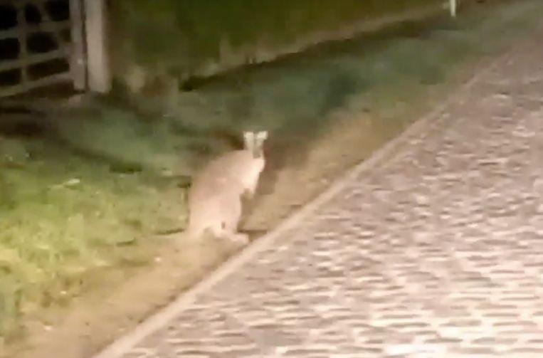 De kangoeroe op de Huisepontweg in Wannegem-Lede.