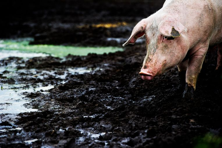 De Afrikaanse varkenspest is alleen nog maar aangetroffen bij wilde zwijnen, maar boeren zijn bang voor besmetting van hun varkens. Beeld ANP