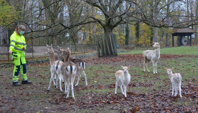 De Bosparkbambi's (rechts in beeld) zijn geliefd bij de bezoekers van het Bospark.