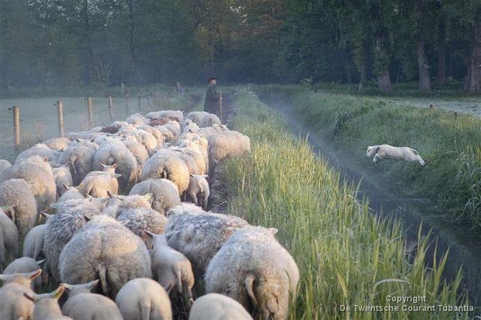 De winnende foto 'een springend schaap'