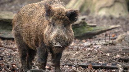 Jeugdbewegingen mogen niet op kamp naar Luxemburg door varkenspest