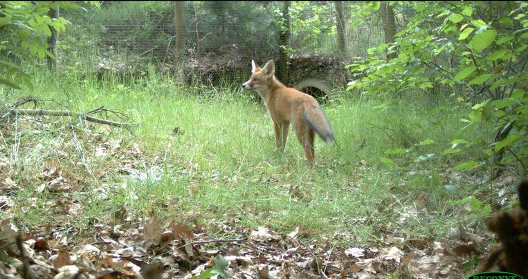 Camera's leggen, ook 's nachts, de dieren vast die de faunapassages gebruiken om van het ene in het andere natuurgebied te komen. Hier een vos. Beeld Sweco