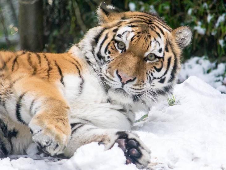 Ook dieren genieten van sneeuwpret in DierenPark Amersfoort