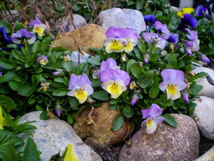 Viooltjes weten zich tussen de rotsen te nestelen.