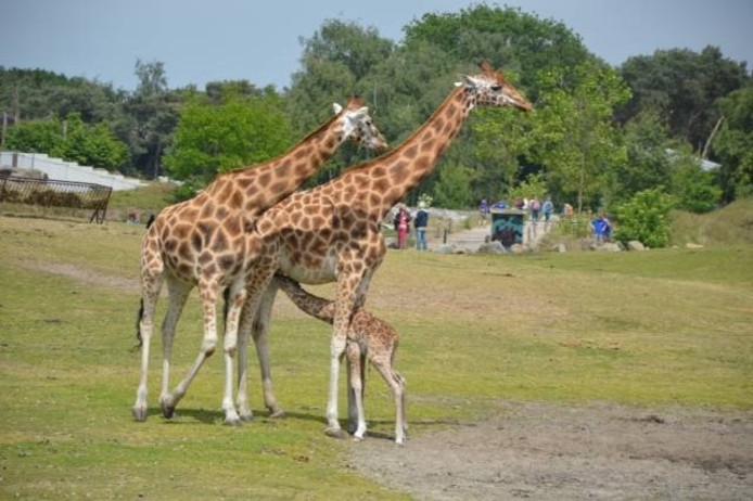 Tijdens de Safarirun lopen de deelnemers vijf kilometer over de paden van het Safaripark.