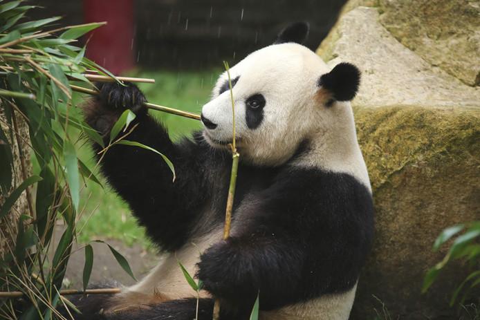 Een van de panda's van Ouwehands Dierenpark