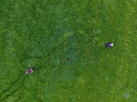 Met drones op zoek naar pasgeboren reekalfjes om neermaaien te voorkomen