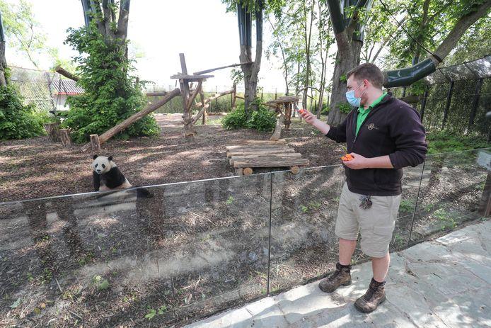 Panda et soigneur, à Pairi Daiza, en mai dernier
