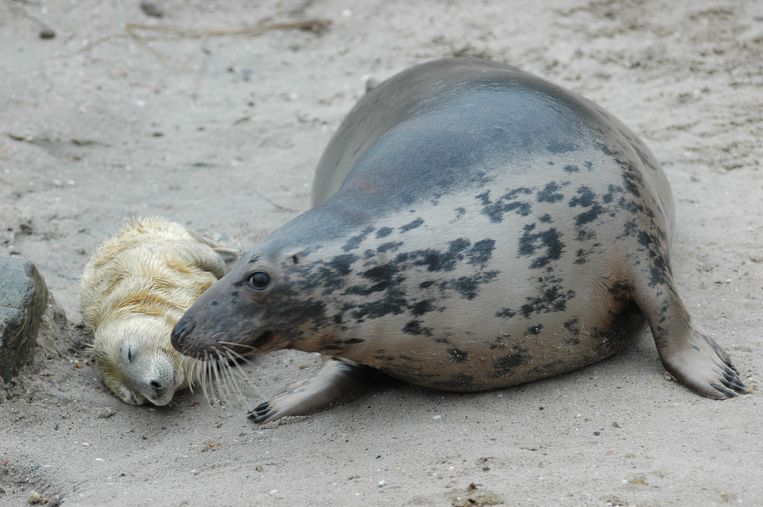 Een grijze zeehond met pup.  Beeld ANP