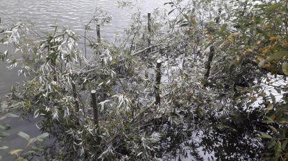 Opmerkelijk: Puyenbroeck beschermt jonge vissen met aanplant 'visbossen'
