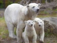 Moeder en broertje namen afscheid van ijsbeertje Yura: 'Verschrikkelijk een jong te  verliezen'