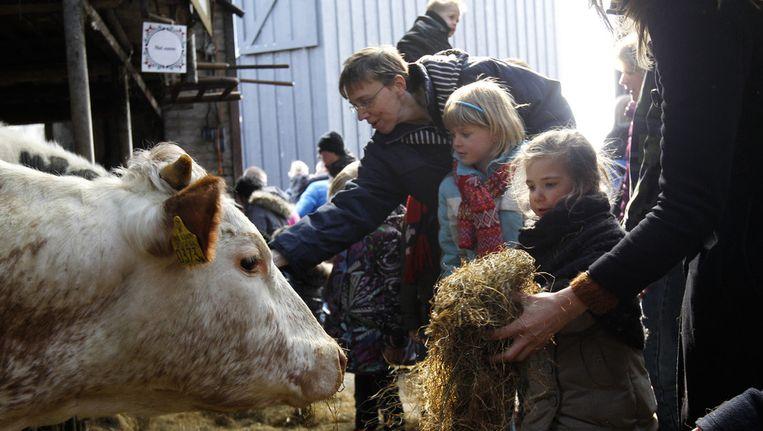 Kinderen geven koeien te eten tijdens de Lammetjesdag op boerderij De Boerinn in Kamerik. Beeld anp