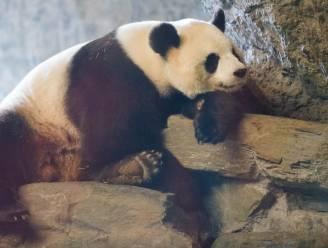 Reuzenpanda succesvol geïnsemineerd: Pairi Daiza duimt voor babypanda deze zomer