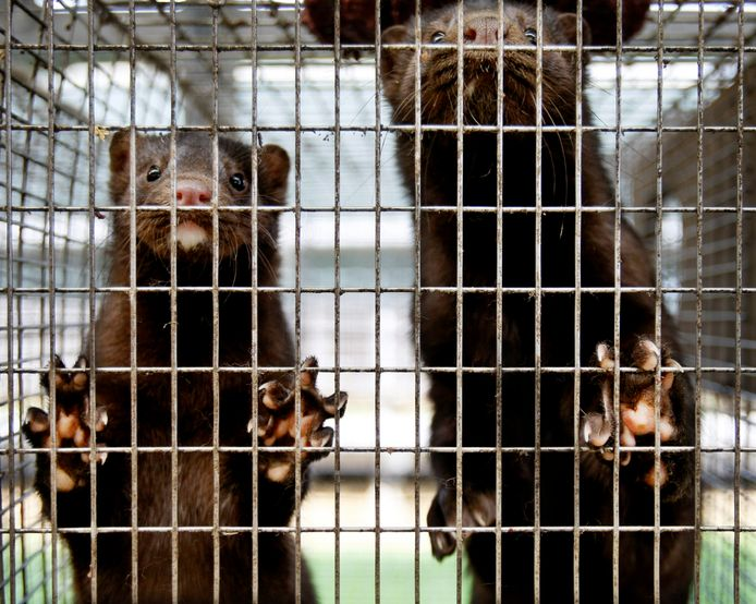 In Malden wordt woensdag een nertsenfarm geruimd. Het gaat om 5200 moederdieren die gemiddeld tussen de 5 en 7 jongen hebben.