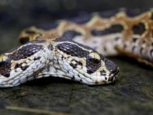 Un serpent à deux têtes découvert en Inde