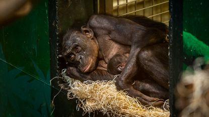 Bonobobaby ziet levenslicht in Planckendael