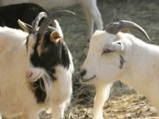 Bredase melkgeitenhouder wil om Brabantse bouwstop heen