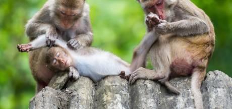 Waarom de gouden regel 'stoor nooit een vlooiende aap' ook op je werk geldt