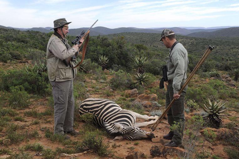 Een jager heeft zojuist een zebra doodgeschoten. Beeld afp