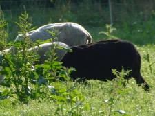 Schaap doodgebeten en lammetjes gestolen op Kinderboerderij Hellendoorn