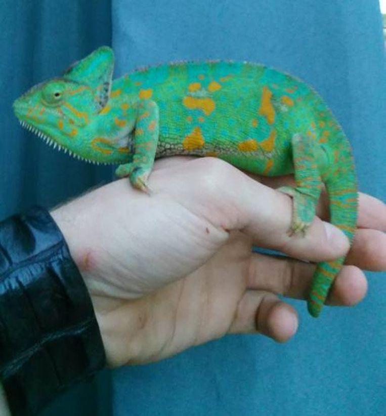 Deze helmkameleon verblijft nu in het reptielenopvangcentrum.