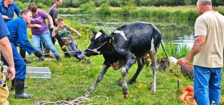 Koeien uit de Tongelreep gered in Valkenswaard