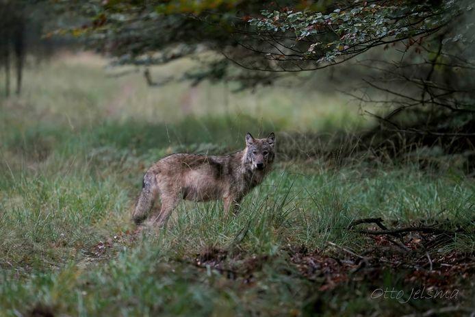 Deze wolf lijkt te poseren voor de camera van Otto Jelsma.