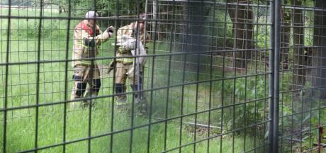 Brandweerlieden bevrijden lammetje uit hekwerk in Boxtel