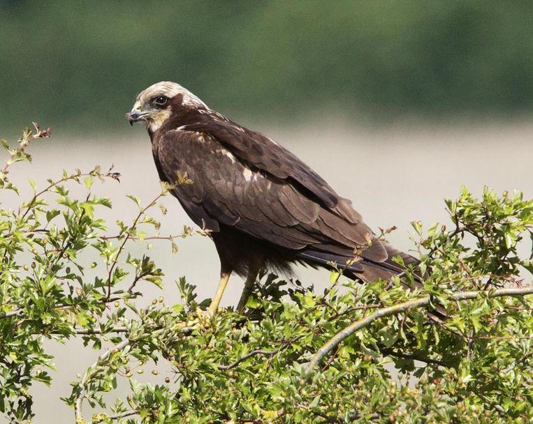 Een bruine kiekendief. Op het toezichtdomein van Paul V. werd een nest met drie dode kiekendieven gevonden. Die roofvogels beschouwde hij als concurrenten in de jacht op kleine zoogdieren.