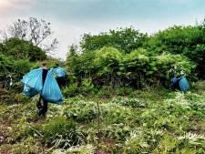 Politie ontdekt duizend wietplanten in natuurgebied de Slikken van Flakkee