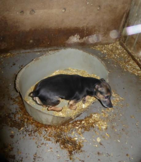 Puppy's leven in eigen ontlasting bij hondenfokker in IJsselland