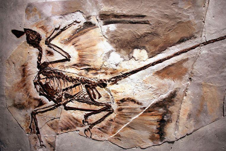 Een fossiel van een Microraptor in het American Museum of Natural History in New York. Beeld afp