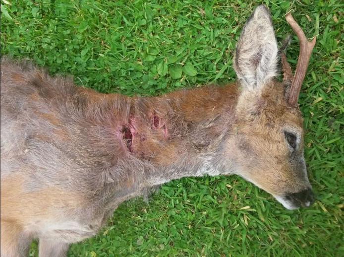 Dit jaar werden al meerdere reeën doodgebeten door loslopende honden.
