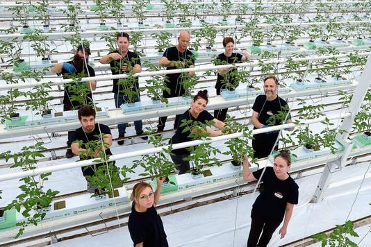 Arbeidsmigranten aan het werk in de kassen van tomatenkweker Jan van Marrewijk in Dinteloord. Nog steeds is niet helder hoe groot de behoefte aan huisvesting is in de regio en per gemeente in West-Brabant.