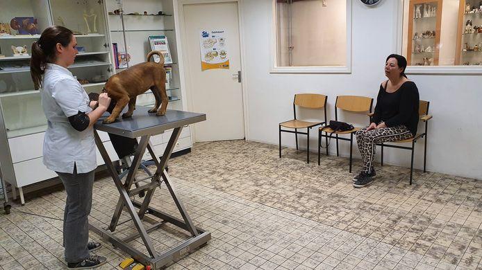 De negen weken oude puppy Jaxx in de behandelkamer bij dierenarts Tineke Kuppeveld voor een puppyvaccinatie. 'Baasje' Gladys Bodeutsch blijft op afstand.
